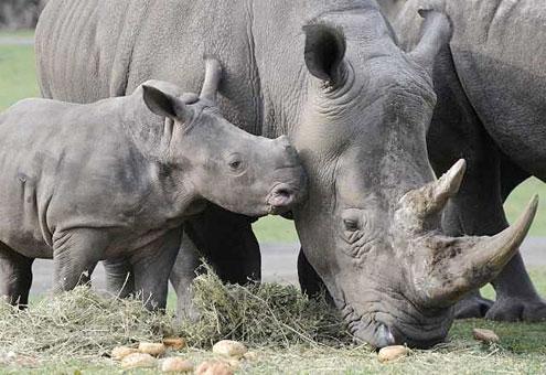 Rinocerontes en el Parque Serengeti