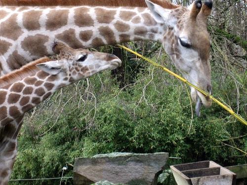 Jirafas en el Zoologico de Dortmund