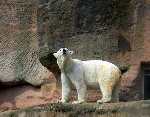 Oso Polar en el Zoologico de Nuremberg